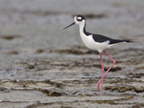 Black-Necked Stilt (Himantopus Mexicanus) on the Beach on the Coast of Ecuador