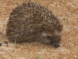 South African Hedgehog (Atelerix Frontalis)  South Africa