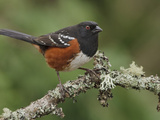 Spotted Towhee (Pipilo Maculatus) Perched on a Branch  Victoria  BC  Canada
