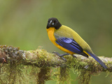 Black-Chinned Mountain-Tanager (Anisognathus Notabilis) Perched on a Branch