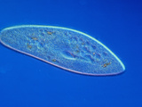 Living Paramecium Caudatum Ciliate Protozoa  LM X110