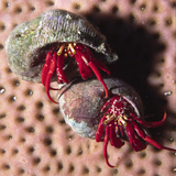 Red Reef Hermit Crabs in their Shell Homes (Paguristes Cadenati)  Bonaire  Netherlands Antilles