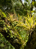 Bromeliads and Other Epiphytes on a Rainforest Tree Trunk  Osa Peninsula  Costa Rica