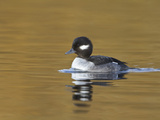 Bufflehead Duckling (Bucephala Albeola) Swimming on a Pond  Victoria  BC  Canada