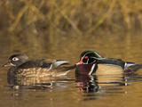 Wood Duck Pair (Aix Sponsa) Swimming on a Pond  North America
