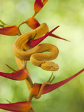 Eyelash Pit Viper (Bothriechis Schlegelii)  Costa Rica