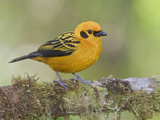 Golden Tanager (Tangara Arthus) Perched on a Branch at the Mindo Loma Reserve  Ecuador