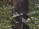 Pacific Dogwood (Cornus Nuttallii) Blooming in the Cascade Range  Oregon  USA