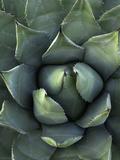 Desert Agave (Agave Deserti) or Century Plant  Anza Borrego Desert State Park  California  USA