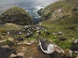 Black-Browed Albatross Nesting Colony (Thalassarche Melanophrys)  Falkland Islands