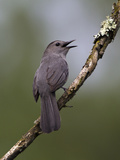 Gray Catbird (Dumetella Carolinensis) Male Vocalizing  Virginia  USA