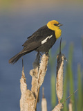 Yellow-Headed Blackbird (Xanthocephalus Xanthocephalus) Perched on a Cattail in Alberta  Canada