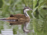 Sungrebe (Heliornis Fulica) Swimming in a Tributary of the Napo River  Amazonian Ecuador