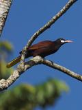 Montezuma Oropendola  Costa Rica