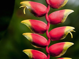 Lobster Claw Heliconia (Heliconia Rostrata)  Costa Rica