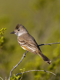 Ash-Throated Flycatcher (Myiarchus Cinerascens)  Big Bend National Park  Texas  USA