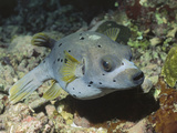 Blackspotted Puffer (Arothron Nigropunctatus)  Blackspotted Puffer