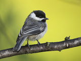 Black-Capped Chickadee (Poecile Atricapillus) Perched on a Branch  Ontario Canada