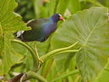 Purple Gallinule (Porphyrula Martinica) Perched on an Aquatic Plant  Napo River  Amazonian Ecuador