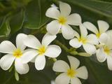 Frangipana Flowers (Plumeria)