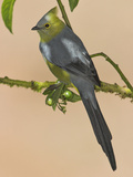 Long-Tailed Silky Flycatcher  Costa Rica