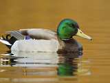 Male Mallard Duck (Anas Platyrhynchos) Swimming on a Pond  Victoria  BC  Canada