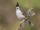 Black-Crested Titmouse (Baeolophus Atricristatus) Perhced on a Branch in South Texas  USA