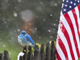 Male Mountain Bluebird (Sialia Currucoides) Waiting Out the 4th of July Snowstorm