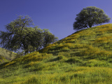 Oaks and Spring Wildflowers in Lost Hills  California  USA