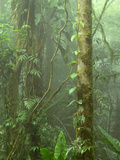 Lush Cloud Forest Interior Near Juan Castro Blanco National Park  Costa Rica