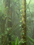 Lush Cloud Forest Interior Near Juan Castro Blanco National Park  Costa Rica