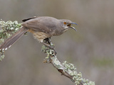 Curve-Billed Thrasher (Toxostoma Curvirostre) Calling from a Branch in South Texas  USA
