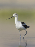 American Avocet (Recurvirostra Americana) Wading in the Water of a Shallow Pond in Alberta  Canada