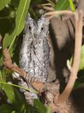 African Scops Owl (Otus Senegalensis)  South Africa