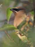 Cedar Waxwing Head (Bombycilla Cedrorum)  Toronto  Ontario  Canada