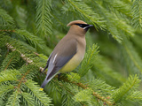 Cedar Waxwing (Bombycilla Cedrorum)  Pennsylvania  USA