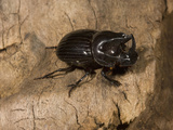 Dung Beetle (Copris Arizonensis)  Texas  USA