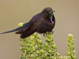 Blue-Mantled Thornbill (Chalcostigma Stanleyi) Perched on a Plant