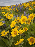 Balsamroot and Lupine Flowers  Columbia Hills  Washington  USA