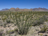 Ocotillo (Fouquieria Splendens) in Front of the Chisos Mountains  Big Bend National Park  Texas