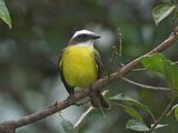Social Flycatcher  Costa Rica