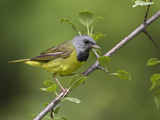 Mourning Warbler (Oporornis Philadelphia) Perched on a Branch  Ontario  Canada