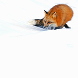 Female Red Fox (Vulpes Vulpes) Searching for Prey in a Field of Snow