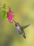 Anna&#39;s Hummingbird (Calypte Anna) Feeding at Red Currant Flower in Victoria  British Columbia