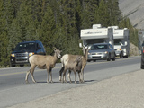 Bighorn Sheep Ewes and a Lamb (Ovis Canadensis) Create a Traffic Hazard as They Block Traffic
