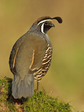 California Quail (Callipepla Californica) Perched  Victoria  BC  Canada
