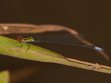 Sprite Damselfly Male Perched (Pseudagrion Hageni)  South Africa