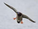 Male Mallard Duck (Anas Platyrhynchos) Flying  Victoria  BC  Canada