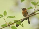 Cinnamon Flycatcher (Pyrrhomyias Cinnamomea) Perched on a Branch and Singing