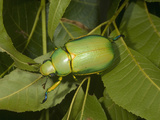 Jewel Beetle (Chrysina Woodi)  Texas  USA